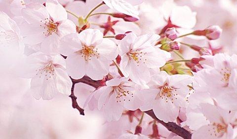 Sakura_wsvga